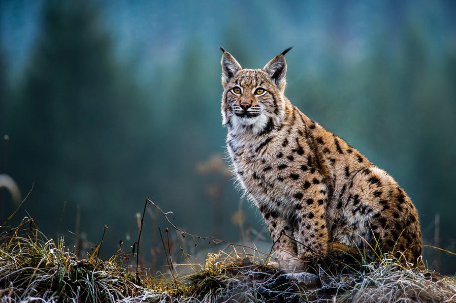 Eurasian lynx: how our computer model highlighted the best site for restoring this wild cat to Scotland